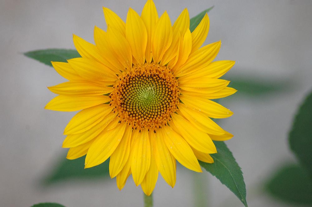 fleur de tournesol photo et image | macro nature, macro fleurs