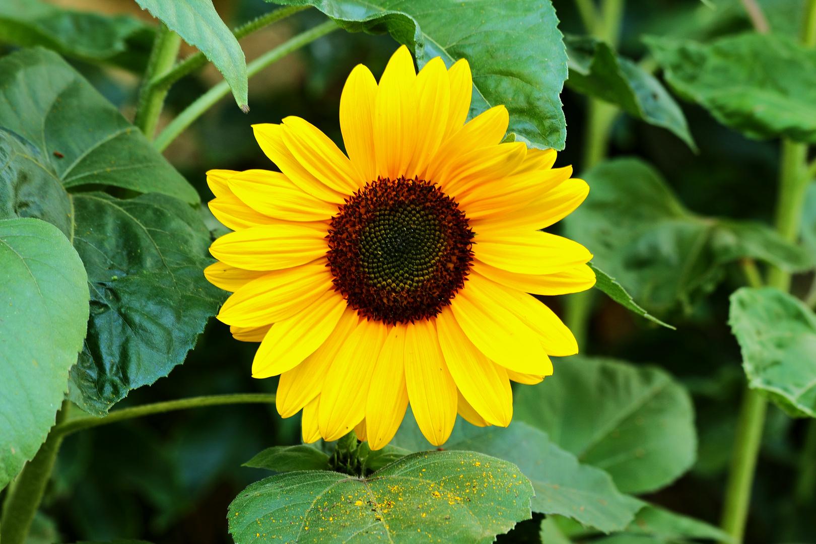 fleur de tournesol. photo et image | fleurs, fleurs insectes