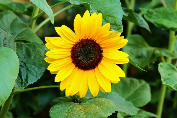 Fleur de tournesol.