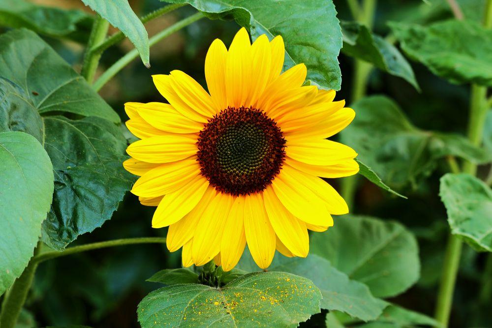 Fleur de tournesol. photo et image   fleurs, fleurs ...