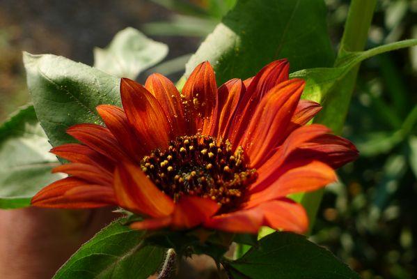 Fleur de tournesol rouge