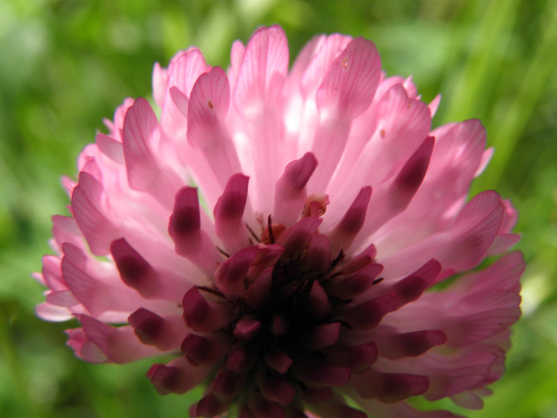 Fleur de trèfle !