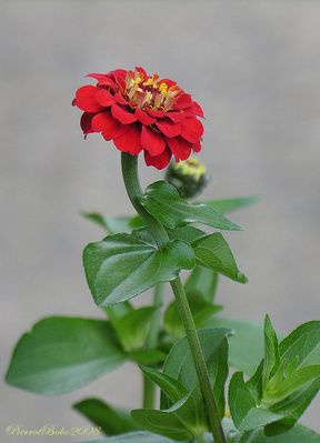 Fleur de zinia
