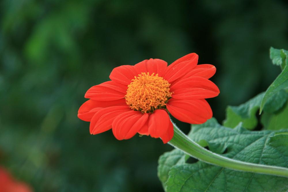 Fleur de zinnia