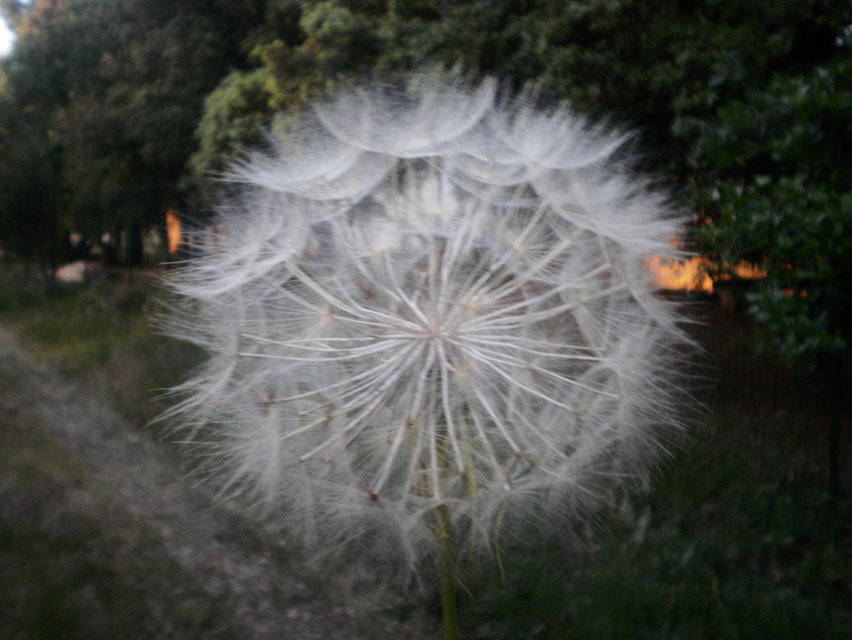 fleur des champs.......