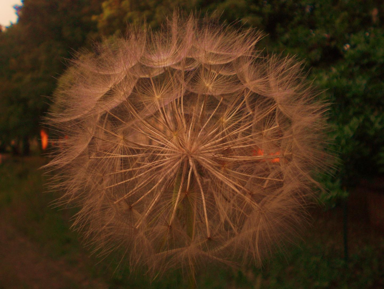 fleur des champs..