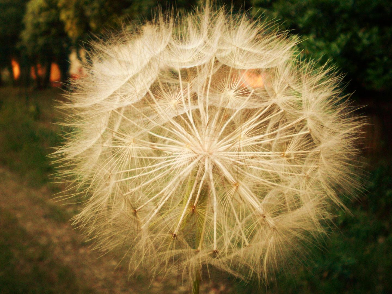 fleur des champs.