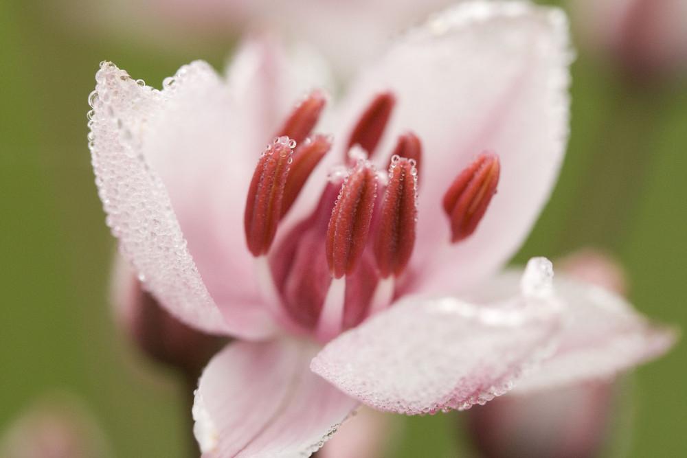 Fleur des marais en habit de gouttelettes
