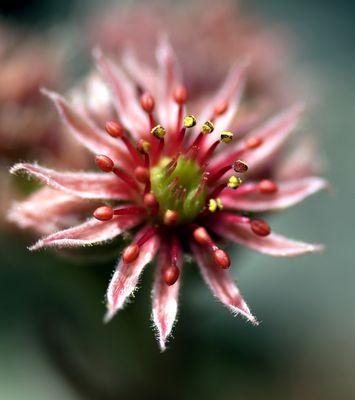 Fleur des montagnes_Pyrénées