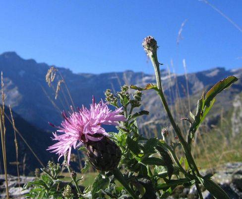 fleur des pyrénées