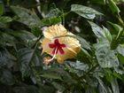 Fleur d'Hibiscus à Hampi