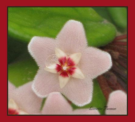 fleur d'indonésie