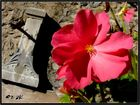 Fleur du bassin