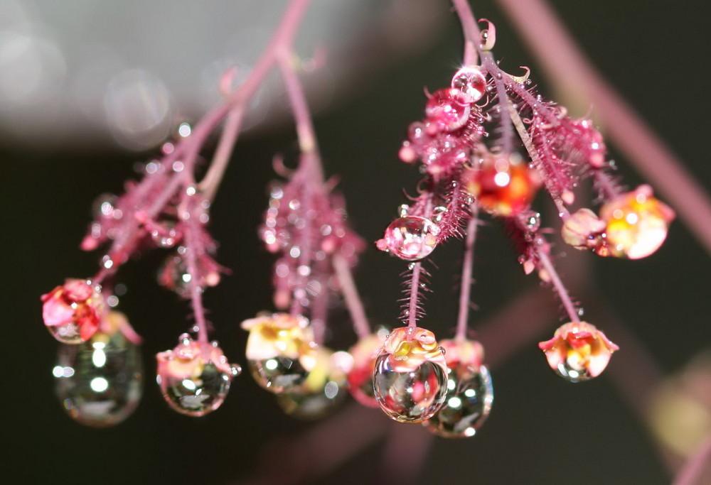 Fleur du ciel ou larmes de pluie