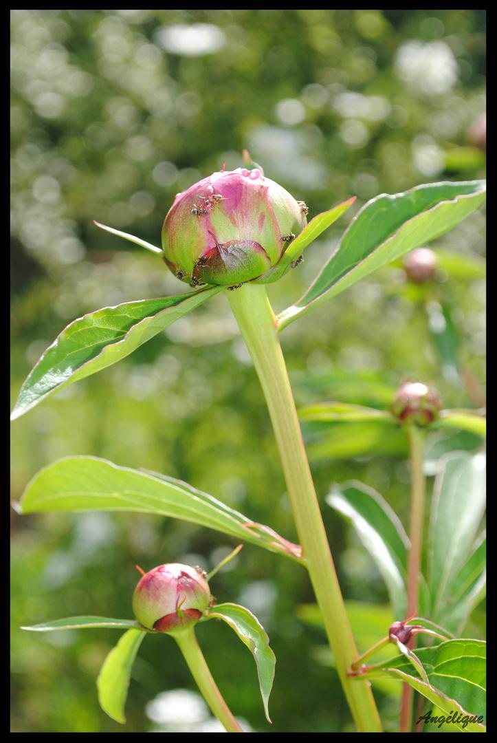 Fleur du jardin : la pivoine.