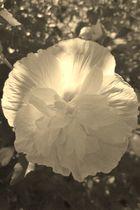 Fleur du mal ?