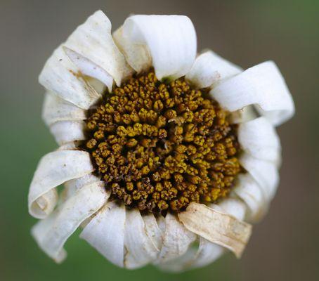 fleur du pays