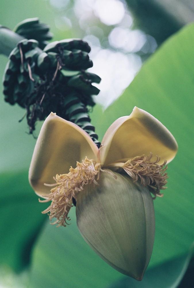 Fleur d'un régime de bananes