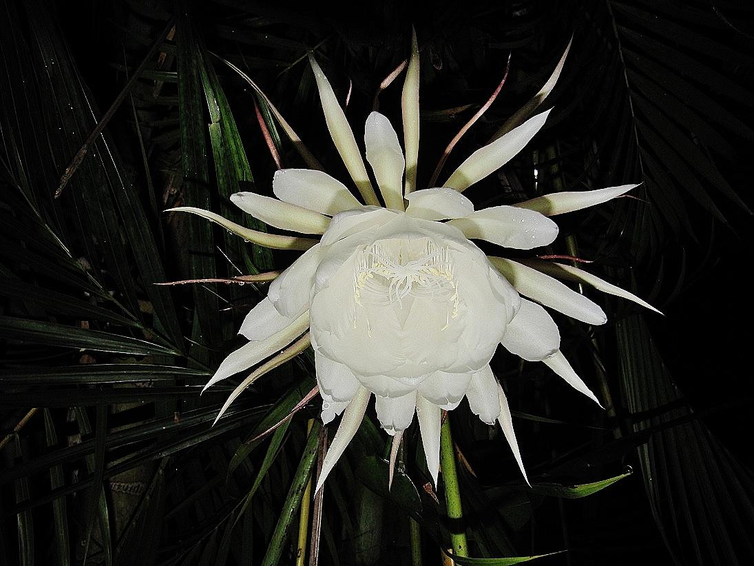 fleur d'un soir