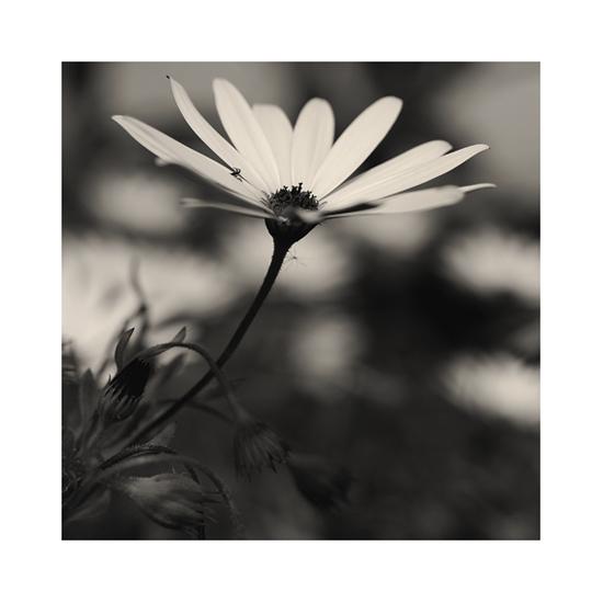 Fleur I