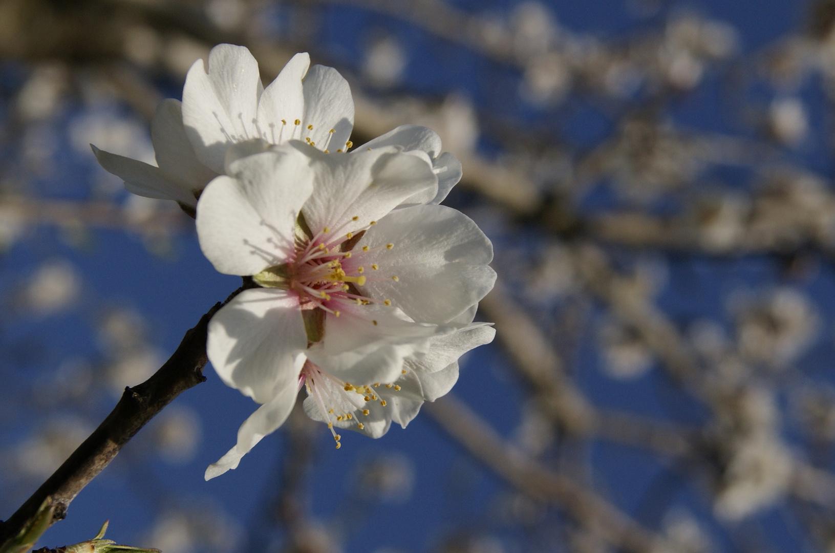 Fleur II
