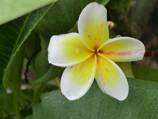 fleur jaune au vietnam