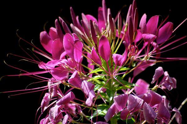 Fleur Joyeuse