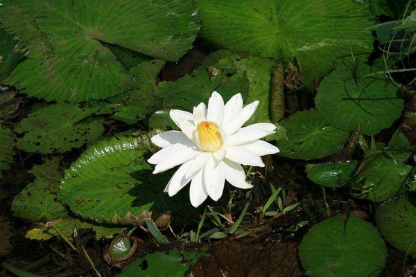 fleur nenuphar ile maurice