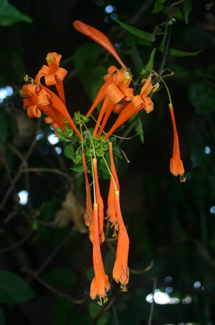 fleur orange de mada