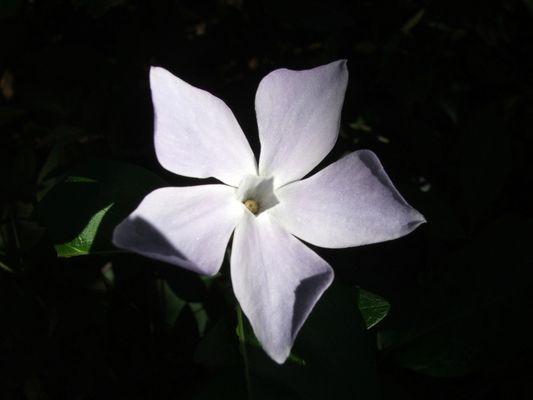fleur paisible