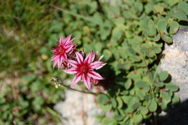 fleur printemps montagne