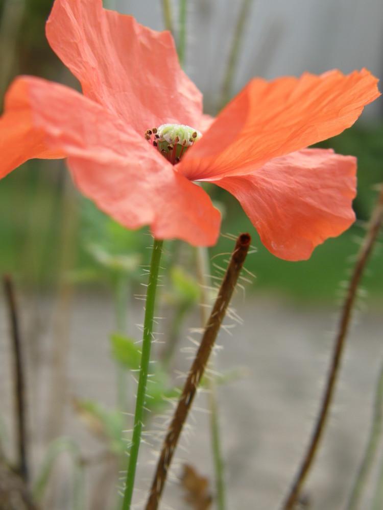 Fleur rouge.
