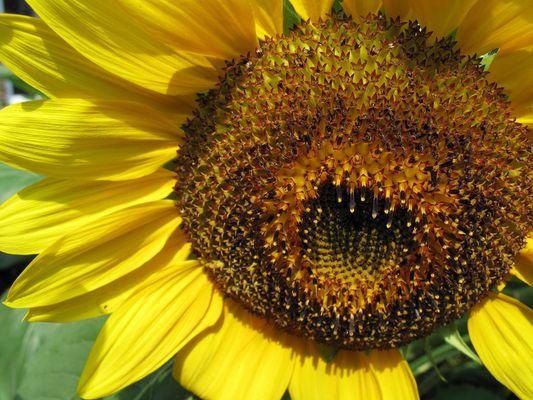 fleur soleil en Gaspésie