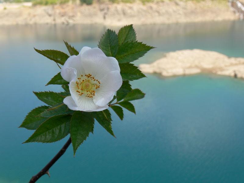 Fleur sur lac. 0707