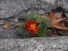 Fleur sur le bitume