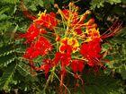 fleur ténérife
