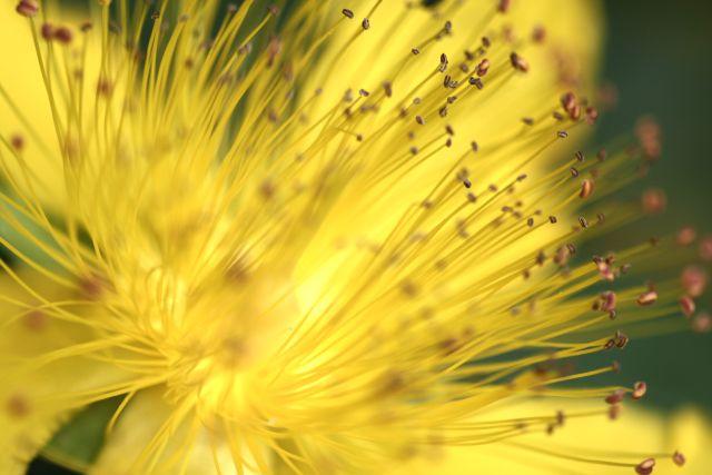 fleur tentaculaire