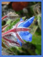 fleur velue