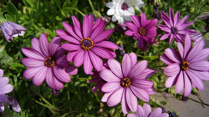 Fleur violette