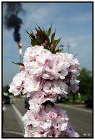 Fleurs anestésiées... au gaz naturel !!!