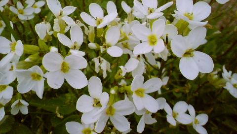 fleurs (crocus)