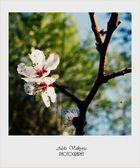 Fleurs d'abricotier