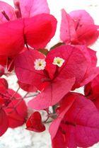 fleurs de bougainvillier