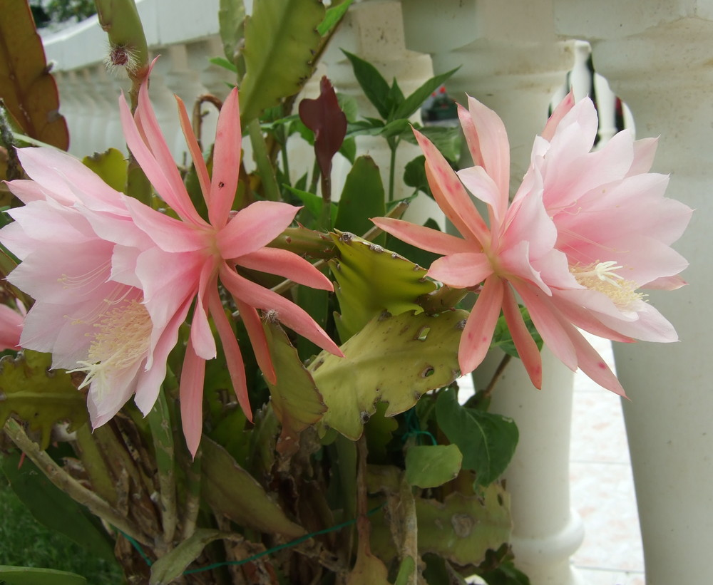 Fleurs de cactées