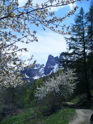 fleurs de cerisers sur fond des Aiguilles de Chabrières (2008)