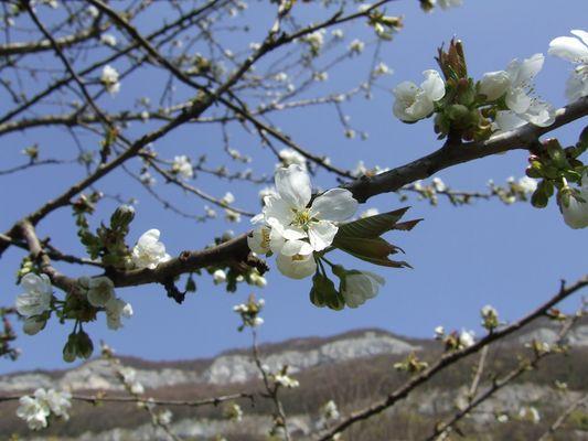 Fleurs de Cerisier à la Mandallaz