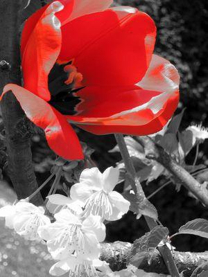 Fleurs de cerisier & . . .