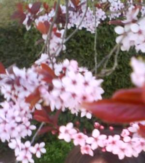 Fleurs de Cerisier de Chine