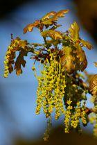 Fleurs de Chêne
