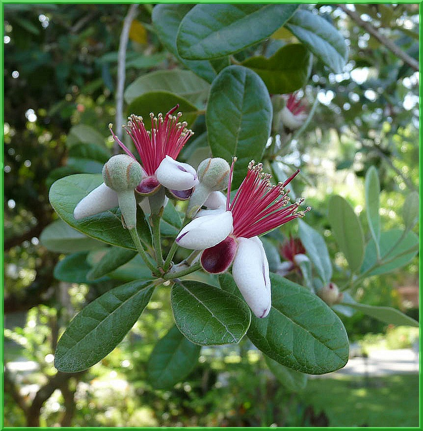 fleurs de feijoa sellowiana ou acca sellowiana photo et image arbres nature images fotocommunity. Black Bedroom Furniture Sets. Home Design Ideas